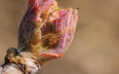 Phénologie de la vigne, quels stades observés et comment ?