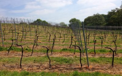 The 2017 vintage in the Sussex