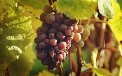 The 2017 vintage in Loire Valley